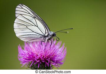zijaanzicht, macro, black-veined, witte , vlinder, (aporia, crataegi), distel, bloem
