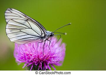 zijaanzicht, macro, van, black-veined, witte , vlinder, (aporia, crataegi), distel, bloem