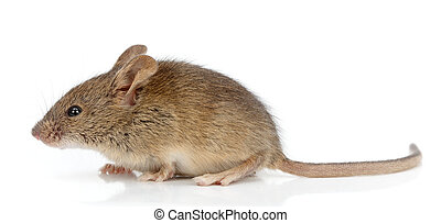 zijaanzicht, van, woning, muis, (mus, musculus)