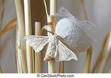 zijdene nachtvlinder, op, cocon