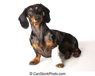 zijn, been, tiger, verband, achtergrond, witte , dachshund