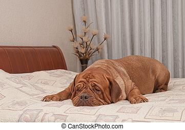 zijn, haar, missende , dog, bed, meester, schattige, het liggen