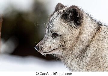 zijn, winter, grijs, zacht, arctisch, hybride, schuldig, achtergrond, sneeuw, het kijken, color., vrouwlijk, links, verdacht, bushes., donker, vacht, vos