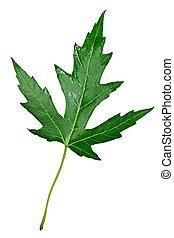 zilveren esdoorn, blad
