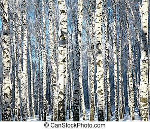 zima, pnie, od, brzozowe drzewa, w, światło słoneczne