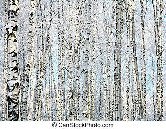 zima, pnie, od, brzozowe drzewa