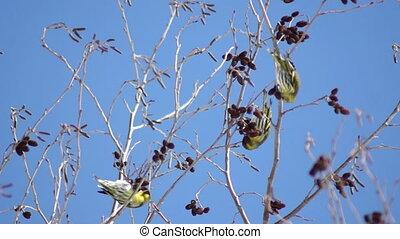 zima, ptaszki, w, drzewa