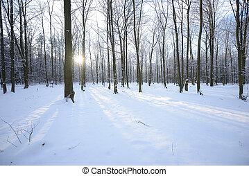 zima, w, bukowy, las