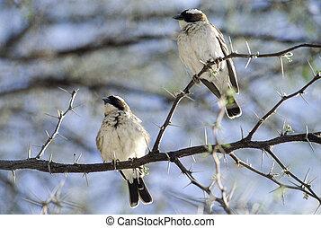zimbabwe, parco, whitebrowed, nazionale, hwange, africa, sparrow-weaver