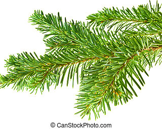 zimozielone drzewo, gałąź, ułożyć, odizolowany, na białym, tło