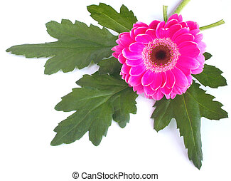 zinnia and leaves over a white background