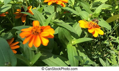 Zinnia angustifolia flower - Honey bee eating nectar from...
