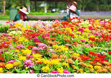 zinnia, campo, flores