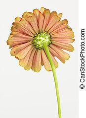 zinnia, fleur, dessous