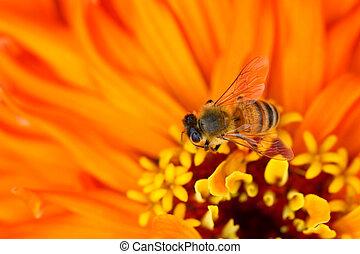 zinnia, flor, abelha