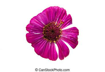 zinnia flower isolated