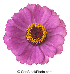 zinnia flower isolated
