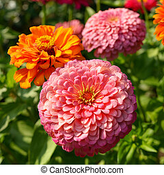 Zinnia flowers closeup in garden