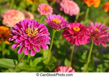 Zinnia flowers in garden