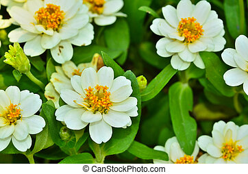 Zinnia flowers on natural background