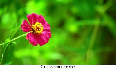 Zinnia lilliput garden pink flower with spectacular vibrant colours and green sunlit foliage, glistening with morning sunshine.