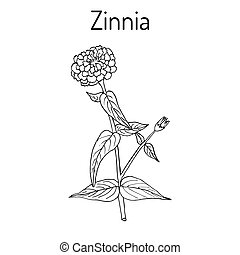 zinnia, plant., elegans, florecimiento, youth-and-age, o