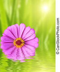 zinnia, vert, fleur, fond