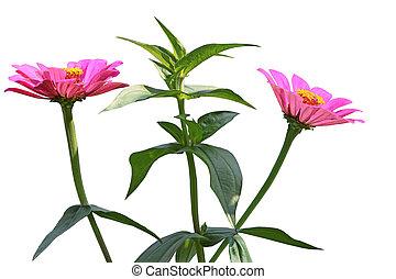 zinnias, 花, 植物