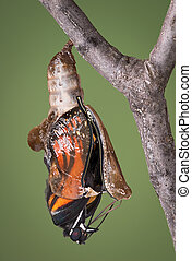 zippered chrysalis - A viceroy butterfly is emerging from ...