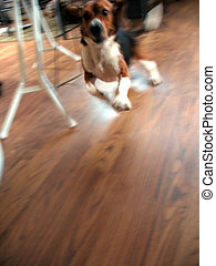 zippy beagle