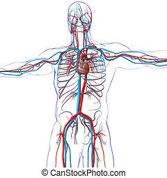 zirkulierend, 3d, übertragung, herz, koerperbau, system, begriff, menschliche , medizin