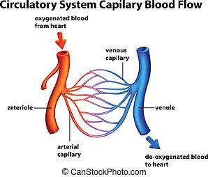 zirkulierend, capilary, -, fließen, system, blut