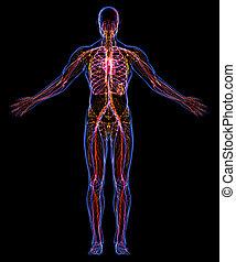 zirkulierend, lymphatisch, systeme