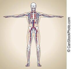 zirkulierend, (male), system, menschliche