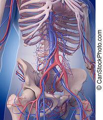 zirkulierend, -, system, abdomen