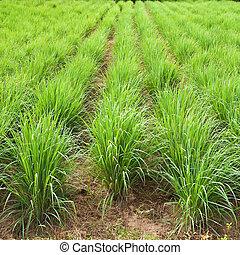 zitrone, osten, gras, nord, thailand., pflanze