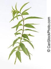 zitrone, pflanze, gras, verbene, medizinisch