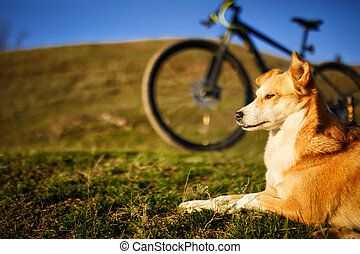 zittende , rode hond, en, berg, fiets, met, greenfield, achtergrond