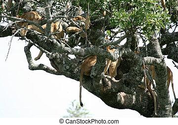 zittende , serengeti, boompje, -, leeuw, afrika