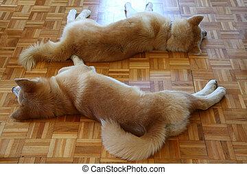 zmęczony, psy, spoczynek