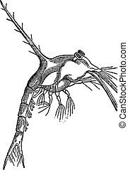 Zoe (monculus Taurus), vintage engraving. - Zoe (monculus...