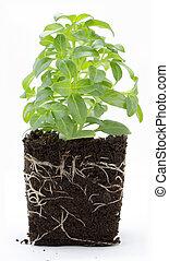 zoete basilicum, plant, met, wortels, en, terrein, vrijstaand, op wit