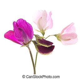 zoete erwt, bloemen