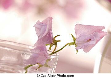 zoete erwten, bloem