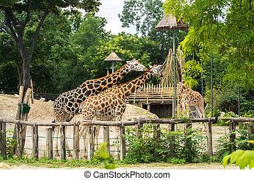 zomer, boedapest, eten, tuin, giraffes, dierentuin, day., groep, flora
