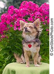 zomer, chihuahua, tuin, dromen, floral, puppy