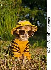 zomer, chihuahua, tuin, nad, zittende , stro, geklede, kostuum, hoedje, bril
