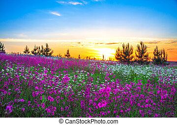 zomer, op, bloeien, weide, zonopkomst