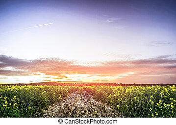 zomer, op, ondergaande zon , canola, akker