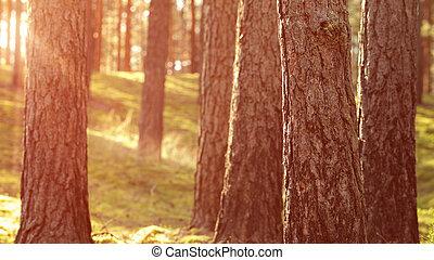 zomer, warme, ondergaande zon , bos, dennenboom